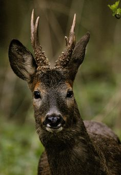inhabitants: various types / species of deer roam the forests and plains and share their food sources with the house members