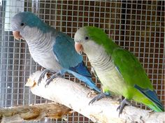 Bird Directory: Quaker Parrot: Just What You Need To Know