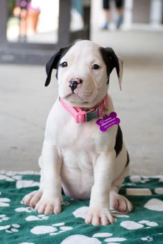 Meet Sabrina, a Petfinder adoptable Pit Bull Terrier Dog | Fresno, CA | Meet the School House Litter! On March 29th, 2015 a teacher found mama Nala on her school property,...