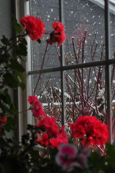 Red Geraniums blooming on a snowy day!  Mine are wintering nicely in our conservatory and dreaming of Spring..