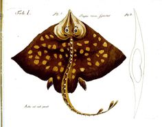 Animal - Fish - Ray