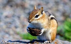 #1718318, chipmunk category - free wallpaper and screensavers for chipmunk