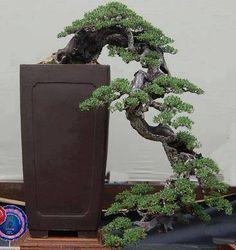 What a dreamy Bonsai. Years of work. Breathtaking!