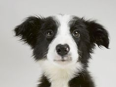 Sweet Border Collie Pup