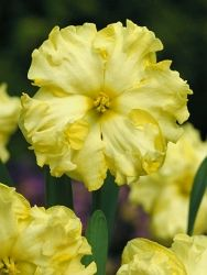"""Daffodil 'Sunny Side Up'. Split Corona Narcissus. 12-24"""" tall. Blooms April or May."""