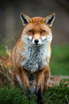 Red Fox by Peter Trimming
