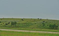 Canada.Alberta.(7)  08545 Cattle, Vineyard, Golf Courses, Landscapes, Canada, Outdoor, Scenery, Gado Gado, Paisajes