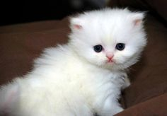 If I had a white kitty like this, I'd put her in my purse and take her everywhere. Yes, I'd be one of THOSE people. See more photos of little Diamond at www.goodmorningkitten.com