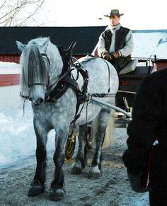Heirums Blåtind - Døla horse