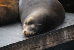 snoozing sea lion at pier 39 in san francisco, california.