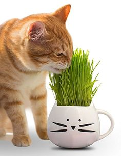 20 best best cat hairball remedy pastes gels images on pinterest organic cat grass kitpet grass kit with cat grass planter natural hairball control and hairball remedy for cats includes planter organic seed mix and gumiabroncs Choice Image