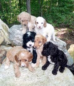 #labradoodle #dogs #cute Golden Labradoodle, Australian Labradoodle, Goldendoodle, Love Doodles, Labradoodles, Dog Mixes, Warm Fuzzies, Poodles, Cute Dogs
