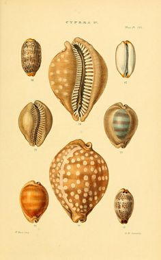 Thesaurus conchyliorum, or, Monographs of genera of shells /.  London :Sowerby ...,1847-1887 #conchology #shells #seashells