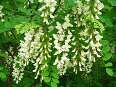 Robinia pseudoacacia, commonly known as the Black Locust, is a tree in the subfamily Faboideae of the pea family Fabaceae. It is native to the southeastern United States Acacia Honey, Honey Locust, Marijuana Plants, Cannabis Growing, Tree Seeds, Garden Seeds, Medicinal Plants, Hydroponics, Lawn And Garden