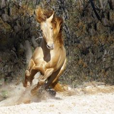 Lusitano - favorite horse color. Cross of perlino and dun genes with immeasurably beautiful rare green eyes