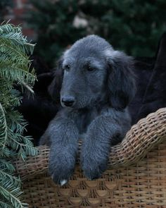 Dream-bunch of puppies! Breeder Kimberly Kurtz Be A Dream A Touch Of Freedom x Kasban Idolize the Wind Afghan Hound Puppy, Hound Dog, Hound Puppies, Dogs And Puppies, Most Beautiful Dogs, Tibetan Terrier, Dog Quotes, Happy Dogs, Mans Best Friend