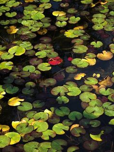 .lily pads.