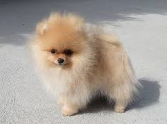 Image result for Pomeranian Puppies