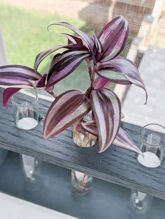 Learn how to care for a wandering jew plant. The wandering jew plant is hardy and easy to care for. It will make the perfect addition to your collection! Easy Plants To Grow, Easy Care Plants, Pothos Plant, Plant Cuttings, Wondering Jew Plant, Types Of Houseplants, Best Air Purifying Plants, Snake Plant Care, Wandering Jew