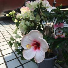 ハイビスカスとブーゲンビリア #hibiscus #bougenvilla #ハイビスカス #ブーゲンビリア