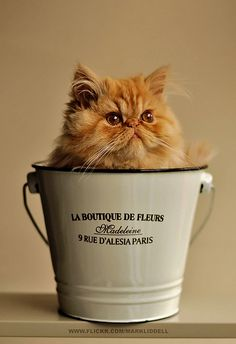 .growing up I had an orange Persian that looked JUST like this; her name was Chelsea!