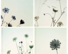 Queen Anne's Lace flower photo set - 4 wildflower photos - pale blue country flower, shabby chic photo set, cottage chic, nature photography
