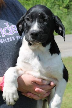 Blaze 24504 is an adoptable Black Labrador Retriever searching for a forever family near Prattville, AL. Use Petfinder to find adoptable pets in your area.