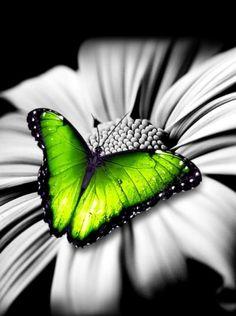 Splash of green- Butterfly Art Green Butterfly, Butterfly Flowers, Beautiful Butterflies, Butterfly Pictures, Papillon Butterfly, Butterfly Kisses, Color Splash, Color Pop, Especie Animal