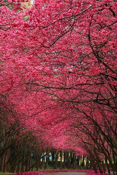 Ver cerejeiras floridas no Japão