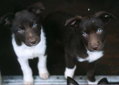 ZOMG!! Border Collie x Kelpies...