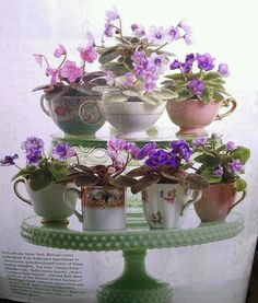 African Violets in teacups. One of the most popular indoor plants! Such beautiful blooms!