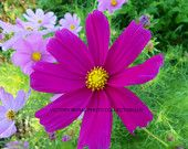 COSMOS are a favorite in many country gardens. This one would look lovely on your home or business wall.  where will you hang it?