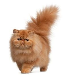 Fluffy Persian Cat...cutest cat ever ...I want one and I don't even like cats