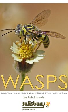 #Wasps: Telling Them Apart | What Attracts Them? | Getting Rid of Them By Rob Sproule, Salisbury Greenhouse
