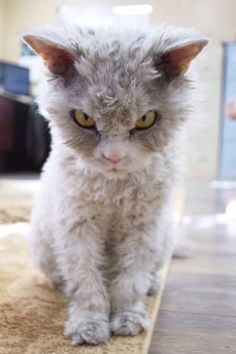 best images and photos ideas about selkirk rex cat - most affectionate cat breed