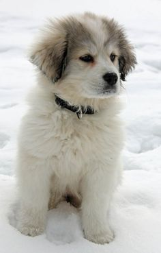 Olive the Great Pyrenees puppy - fluffy sweetness!