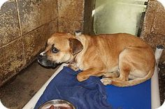 Boxer/Pit Bull Terrier Mix Dog for adoption in Henderson, North Carolina - Andrew