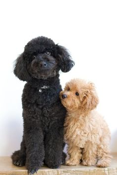 Poodle cute big brother with little sister