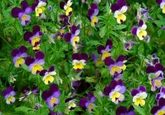 Johnny Jump Up Seeds - Viola cornuta... A tiny bloom with a big history! Immortalized in art and literature, this common European wildflower is known as Pansy, Violet and Viola as well as Johnny Jump Up and has been a favorite of gardeners for generations.