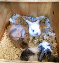 Litter of Holland Lops in Nesting box ..