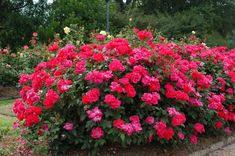 Large Knockout Rose Bush -along front walk. --add more in expanded walk garden! -maybe put some in front of other bushes by porch with other large growing shrub/flowers.