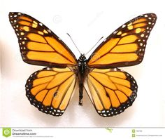 Monarch Butterfly with open wings in a top view as a flying migratory insect…