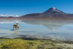 Vicuña Mother And Young, Bolivia. Photograph by Ben Ashmole - On route from San Pedro De Atacama in Chile to the Uyuni Salt Flats in Bolivia, you can see the pristine waters of Laguna Blanca, which reflect the majestic Licancabur volcano like a mirror