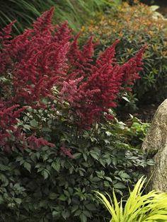 Walters Gardens, Inc. maynard Astilbe 'fanal'