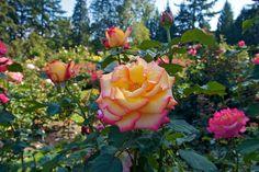 Portland Japanese Garden, Rose, Flowers, Plants, Pink, Plant, Roses, Royal Icing Flowers, Flower