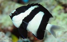 Black And White Damsel Fish (Dascyllus Aruanus) | The Fish Guide