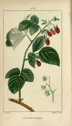 img/dessins-gravures de plantes medicinales/framboisier - framboise.jpg