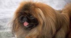 littlest pet shop pekingese puppy - Google Search Pekingese Puppies, Veterinary Surgeon, Wild Lion, Lion Love, Lap Dogs, Lhasa Apso, Detailed Image, Pet Shop, Dog Toys