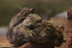 because the only thing cuter than a degu is a pile of degus