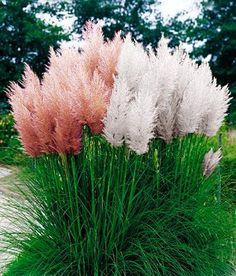 Cortaderia selloana Rosea: Pink Pampas Grass